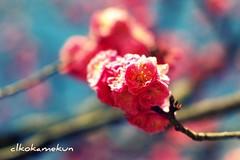 Plum blossoms (okamekun) Tags: kyoto pentax takumar super