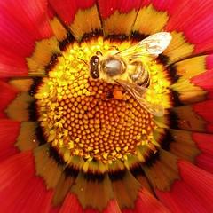 Abelha na flor (Jakza) Tags: flores abelhas insetos flowers pólen polinização colourartaward frenteafrente perpetual quadrado x3 challengegamewinner