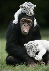 Alm da beleza soberba da fotografia, maravilhoso o afeto que se pode criar entre espcies to diferentes........ (chrissilvares) Tags: animal amor natureza macaco animais tigre caridade solidariedade chimpanz tigrebranco preservaodeespcie