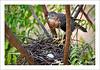 (Divs Sejpal) Tags: wild color colour green nature closeup colours nest wildlife egg motherhood nesting divs d90 divyesh shikra divssejpal sejpal dsc0369jpg sigma150500apo
