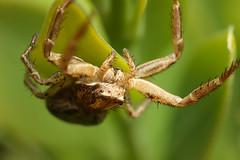 Crab spider in box bush (Lord V) Tags: macro bug spider crabspider