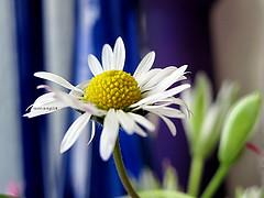 #33/09 (emasplit) Tags: blue daisy naturesfinest emasplit explore2009