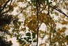 DSC_0983 (prasanthabythomas) Tags: flower kerala kanikonna