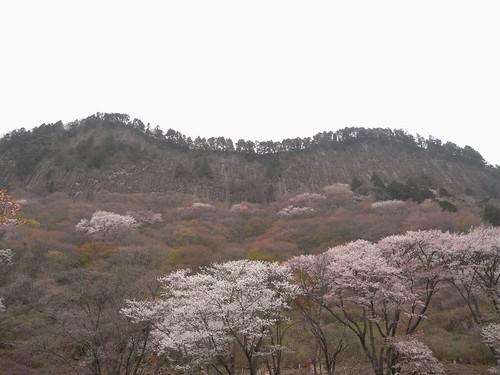 【桜】『屏風岩公苑』@曽爾村-06