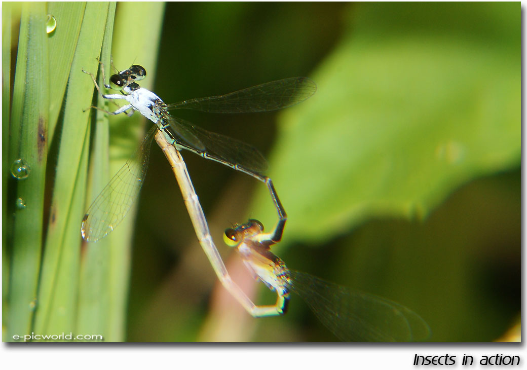damselfly mating picture