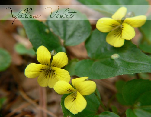 Yellow Violets