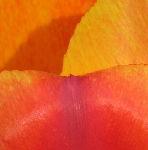 macro photograph tulip flower petal yellow orange