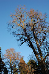 dunkeld tree 1 (biotron) Tags: tree perthshire dunkeld