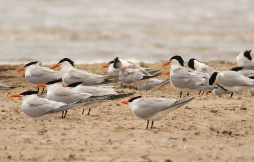Royal Terns - 4/24/2009