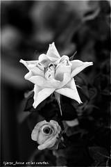 2 capullos y 1 telaraña. (jbuscador) Tags: blackandwhite bw españa flores flower spain carretera sony cantabria cantabro minolta50mmf17 ltytr5 renedodepiélagos a3b alpha350 jbuscador jbuscadorcom jorgebusca09