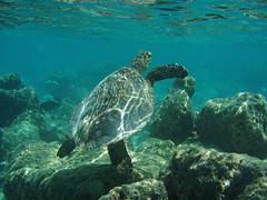 Swimming Sea Turtle (presbi) Tags: maldives seaturtle tqm supershot tmba aplusphoto flickrdiamond naturewatcher concordians platinumheartaward goldstaraward saariysqualitypictures newgoldenseal mygearandmebronze mygearandmesilver mygearandmegold