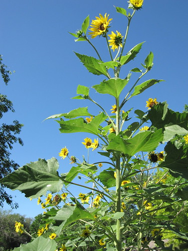 tall sunflowers. volunteers.