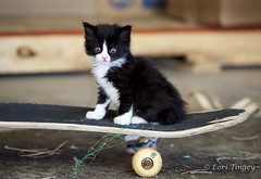 Skater Cat (Domain Barnyard) Tags: pet animal cat furry kitten kat kitty gato tiny skate skateboard sporty f40 tingey 170mm domainbarnyard canoneos5dmarkii