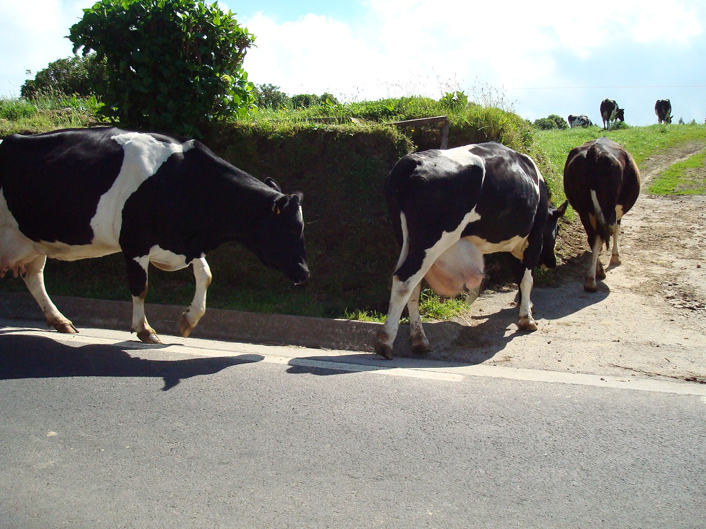 Azorean cows
