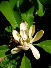 Magnolia officinalis v. biloba