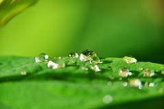Pearls (Kim van Dijk photography) Tags: macro reflection green water closeup droplets drops pearls waterdrops kimvandijk
