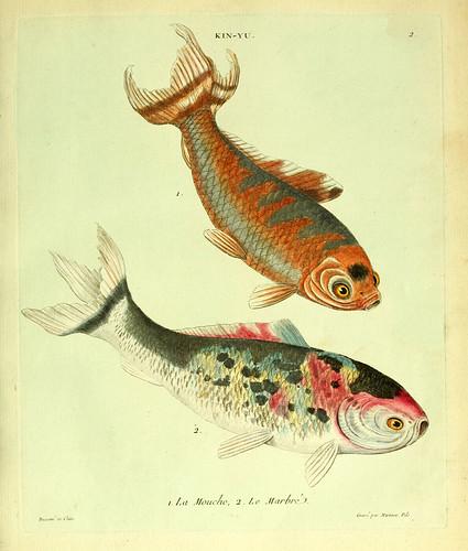002- La mosca y el jaspeado-Histoire naturelle des dorades de la Chine-Martinet 1780