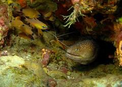 (Giorgia_Sharm) Tags: sony redsea egypt sharmelsheikh shrimp diving eel morayeel naamabay w300 sonyw300