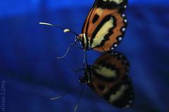 twins (Aline S.Stos ) Tags: blue azul butterfly twins dos santos borboleta fotografia reflexo aline silva canonxti40