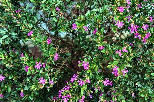Cuphea hyssopifolia (vs) - 02