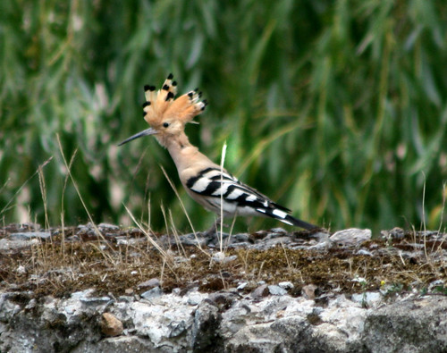 hoopoe displaying crest