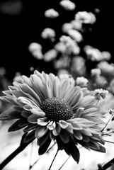 Flores de mamá (victor mendivil) Tags: flower peru nikon dof lima flor nikkor magdalena botanica d80 18135mmf3556g ltytrx5 ltytr2 ltytr1 ltytr3 victormendivil beyondbokeh cruzadasii