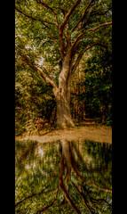 The old Tree (Sam ) Tags: tree canon germany deutschland legacy baum hdr bitburg rheinlandpfalz prmzurlay irrel concordians thesecretlifeoftrees sam8883 platinumbestshot flickrvault sailsevenseas eifelkreis trolledproud