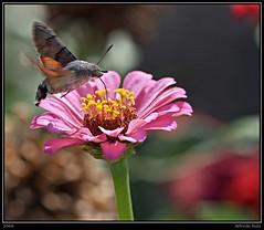 Esfinge Colibr (Alfredo.Ruiz) Tags: macro canon esfinge mariposa colibri ef100 eos450d macroflowerlovers
