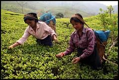 "Tea picking in Darjeeling: ""Two leaves and a bud"" (tojeto) Tags: india tea darjeeling teapicking teepflückerinnen"