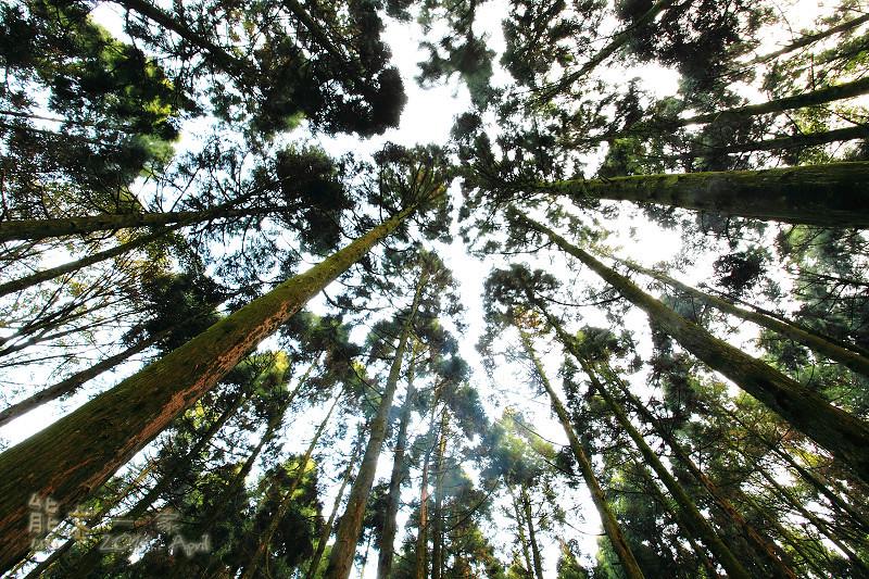 熊空農場|柳杉林