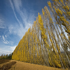 Poplars (Ian@NZFlickr) Tags: autumn fall clyde bravo colours central nz otago aotearoa poplars naturepoetry