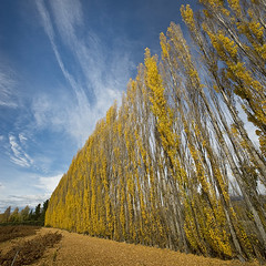 Poplars (Ian@NZFlickr) Tags: autumn fall clyde bravo colours central nz otago aotearoa poplars naturepoetry