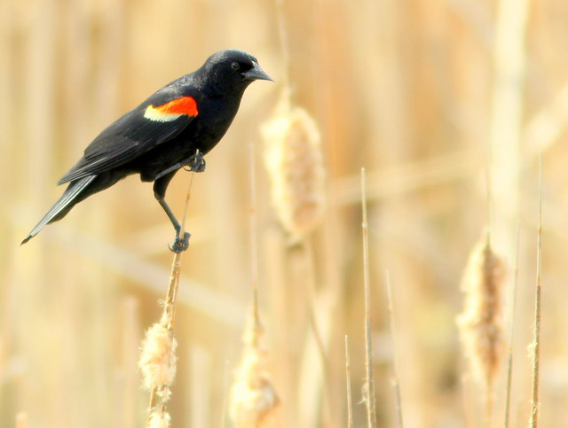 Red-winged Blackbird (Agelaius phoeniceus ) male 20110519