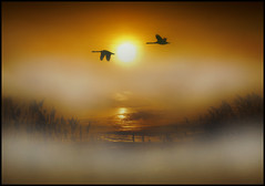 December Dream (adrians_art) Tags: winter plants mist water birds fog sunrise reflections reeds wings flight earlymorning rivers muteswans