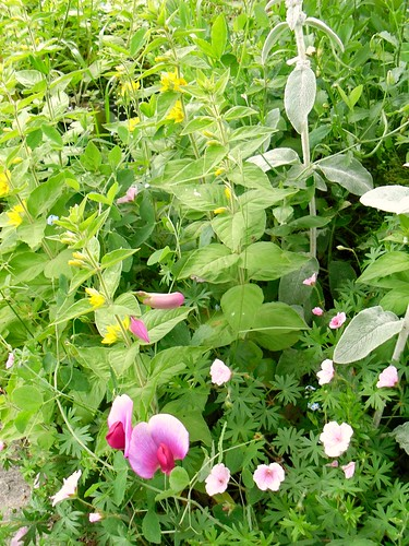 sweet-pea, lamb's lugs and cranesbill