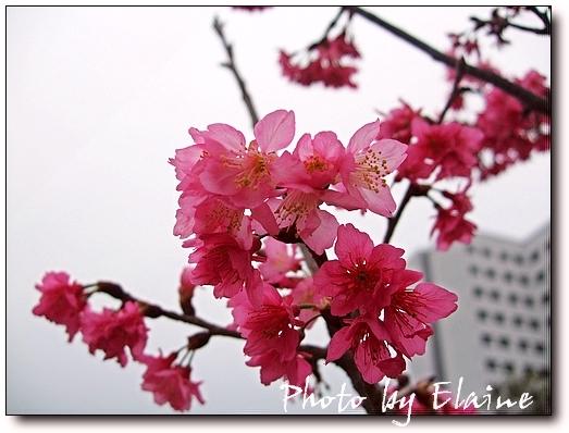 2009櫻花2