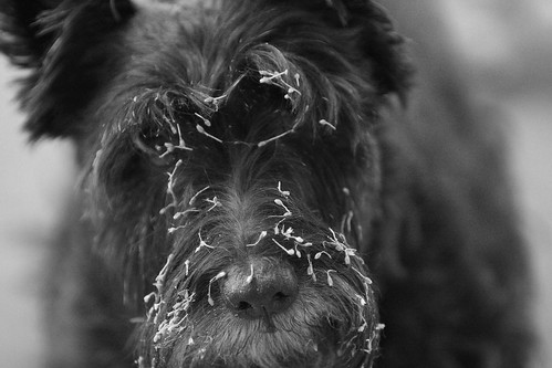 how to get burrs out of dog fur