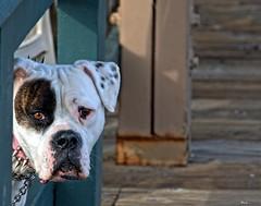 Pinky (...-Wink-...) Tags: dog pier explore interestingness136 singlerawhdr venturacalifornia nikond80 essentialhdr sigma18200hsmos cutedamndoggie pinkwithspikes