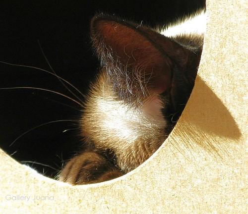 Sputnik, siamese cat, in her cave