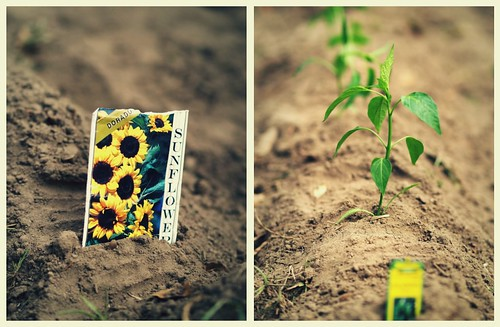 sunflowers and jalapenos. planted.