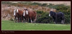 Billy No Mates (K_D_B 2.9 Million views. Thanks) Tags: grass wales canon sigma newport heath ponies 1020mm pembrokeshire moorland 30d gorse kdb