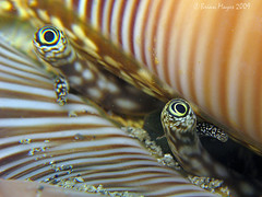 Conch Eyes (Lambis millepeda ?) (Brian Mayes) Tags: canon indonesia eyes underwater shell scuba diving conch lembeh 725 g9 brianmayes canong9 nadhousereef lambismillepeda