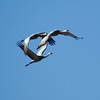 ballet of birds (zyrcster) Tags: sky birds wildlife cranes sanluisvalley migration sandhillcranes montevista gruscanadensis colorfulcolorado pfogold montevistawildliferefuge tamronaf75300mm1458ld