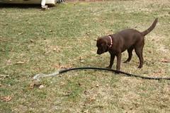 Hmmmm, What Shall I Do Now? (JKissnHug - Busy Watching Osprey) Tags: holly labradorretriever runningwater chocolatelabrador waterhose waterdog hollyhug