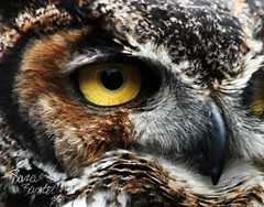 Eye of the Great Horned Owl (Little Lioness) Tags: green bird eye canon beak raptor owl hoo greathornedowl hornedowl yelloweye goldeneyes bubovirginianus hisnameisbob bigowl vosplusbellesphotos yellowowleyes harrypottersowl owlwithyelloweyes closeofofgreathornedowl closeupofowleyes owleyescloseup greatpicsofowls thejerseydevilisanowl yelloweyesowl closeupofwildowl