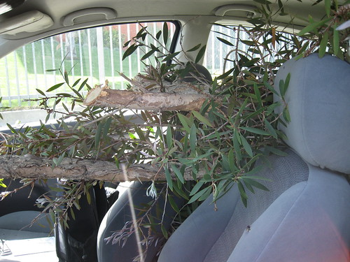 paperbark limbs in hatchback