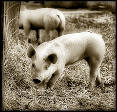 Oink Oink (` Toshio ') Tags: blackandwhite bw baby animal closeup sepia pen fence mammal piggy pig spring close farm farming perspective maryland ears duotone hay piglet toned farmanimal oink snout springtime toshio superaplus aplusphoto platinumheartaward