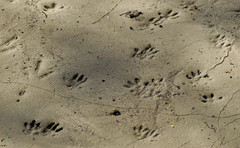 Footprints in the mood (giansacca) Tags: animals footprints animaux animali orme impronte tracce fango