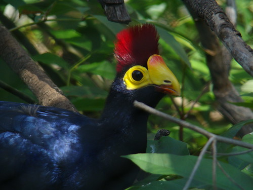 Lady Ross's Turaco at the Los Angeles Zoo