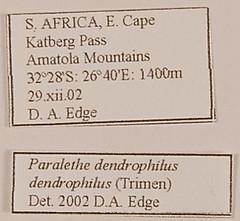 Paralethe dendrophilus